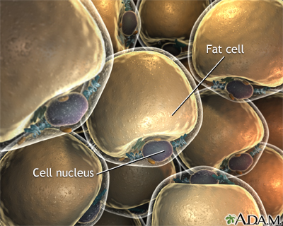 Lipocytes (fat cells)