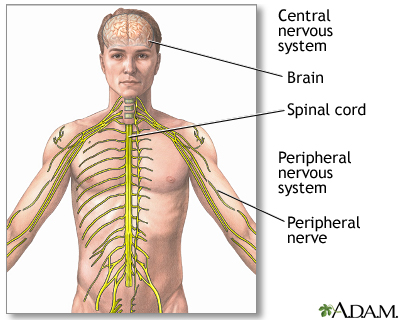 Special sense receptors provide for taste, smell, sight, hearing, and balance. Nerves carry all messages exchanged between the CNS and the rest of the body.
